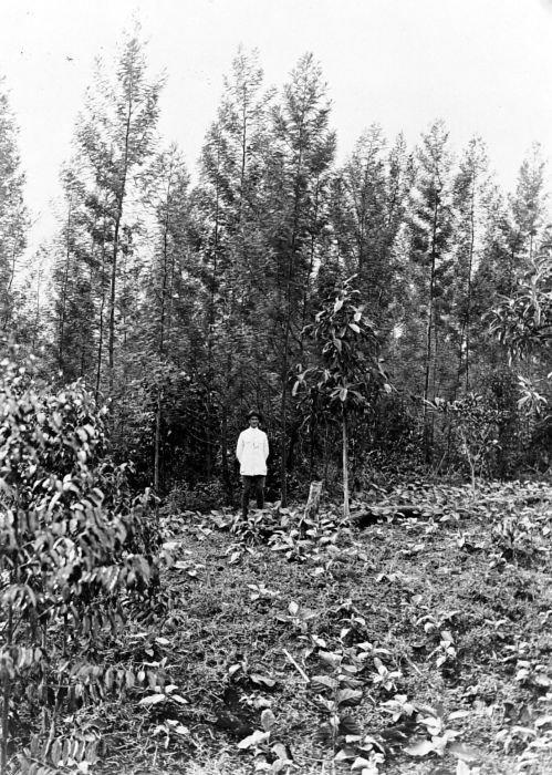 TA T–Die Welt als Wald_Von Holzstoff und Papier_Plantage mit Akazienbäumen Nahe Cibodas, West-Java, vor 1940. Tropenmuseum, Amsterdam. © Wikimedia Commons