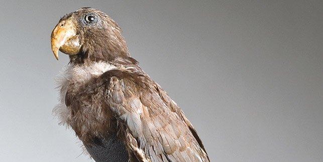 Alexander von Humboldts Vasa-Papagei »Jacob« ( Coracopsis vasa) ©:  MfN, Carola Radke.