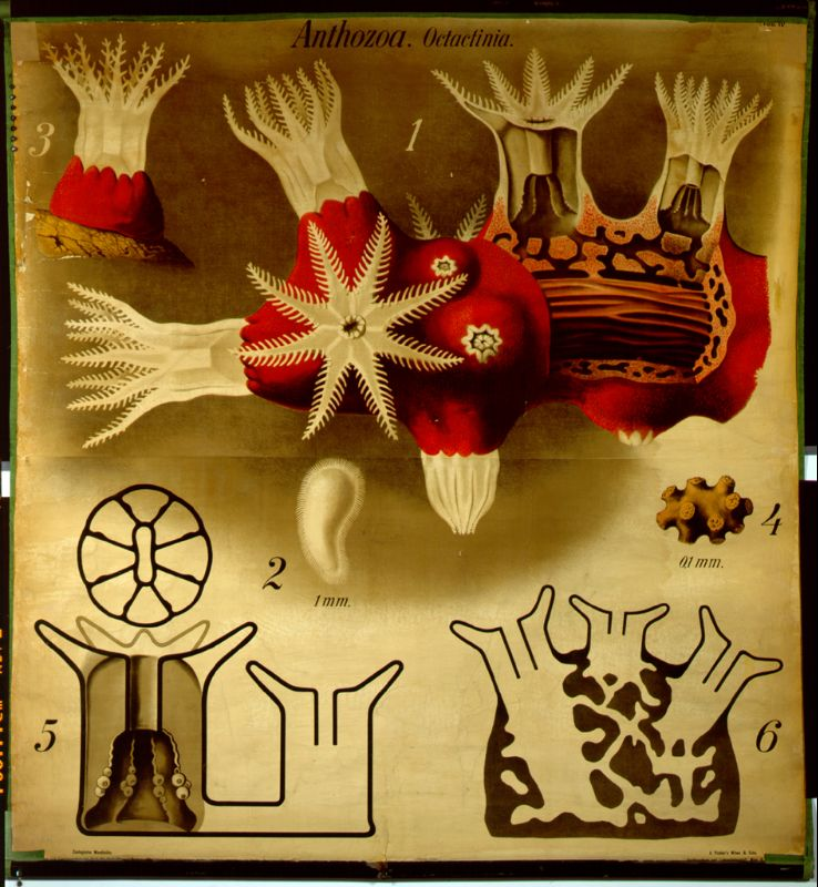 Darstellung der Edelkoralle von Paul Pfurtscheller, zoologische Wandtafel von 1903, Foto: © Humboldt-Universität zu Berlin, Lebenswissenschaftliche Fakultät, Institut für Biologie/Vergleichende Zoologie/Sylvia Scholz